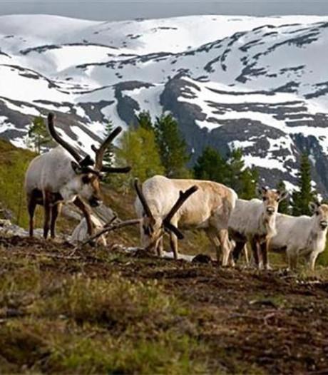 Bliksem doodt meer dan 300 rendieren in Noorwegen