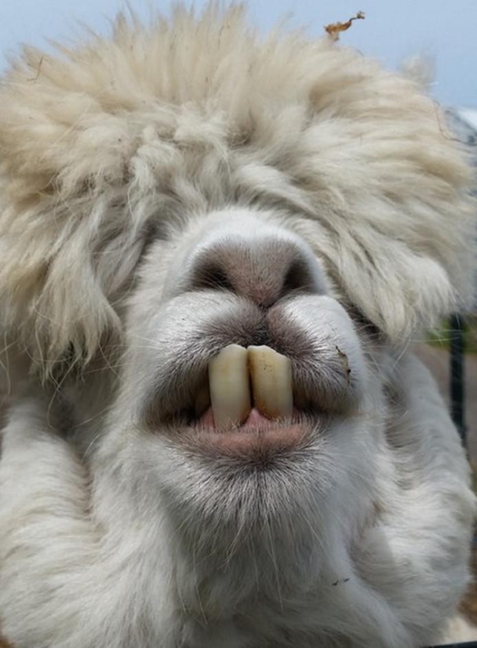 Wordt het de kapper of de tandarts? Dat vroeg Carla Metz zich af toen ze dit dier spotte op een veldje in de buurt van Monster. Een lama, veronderstelde ze. Maar nee, eigenaar Theo Enthoven weet heel zeker dat het een van z'n alpaca's is, te vinden aan de Madeweg.