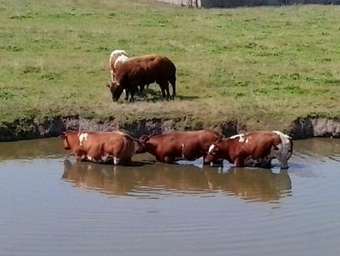Deze koeien in Heenweg hebben ook een oplossing gevonden voor het warme weer.