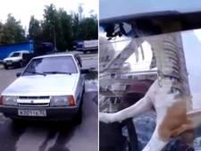 Ongeduldige hond met poot op claxon laat omstanders gieren