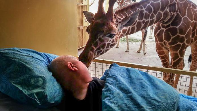 Mario en de giraffe in Blijdorp nemen afscheid van elkaar