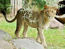 Sluiting dierentuin Leipzig na uitbraak leeuwen