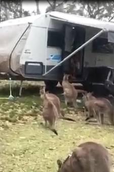 Nieuwsgierige kangoeroe neemt vrienden mee naar camper
