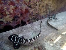 Zebrahaai verrast met drie jongen na zelfbevruchting