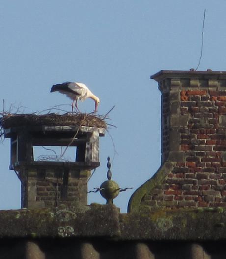 Eerste ooievaar weer op nest in Gennep