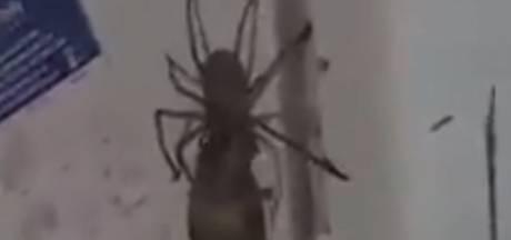 Enorme spin probeert muis op te eten in Australië