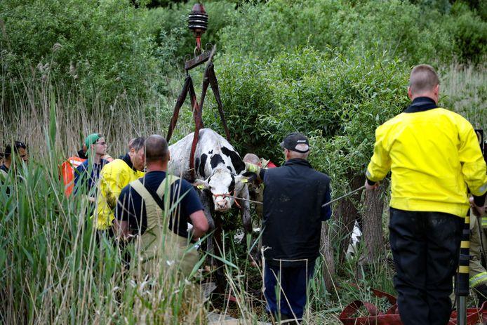 Een van de negen koeien wordt bij Doesburg met behulp van een takelkraan van de brandweer uit het moeras geholpen.