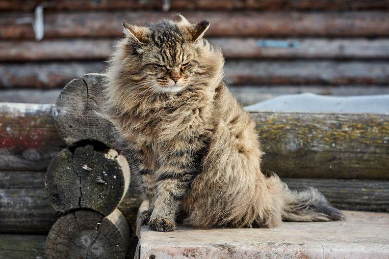 De Siberische kat.