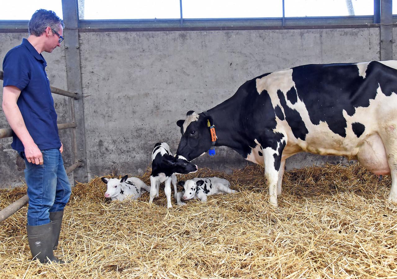 Een drieling kalfjes geboren bij veehouder Wilbert van Laak (links).