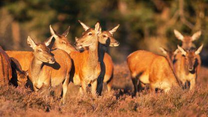 Aalstenaar botst plots met hert: dier overleden
