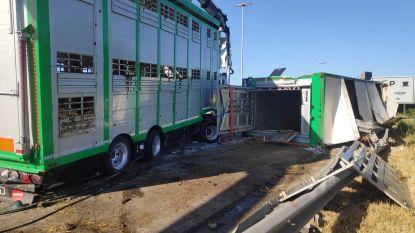 """Vrachtwagen met koeien kantelt op E17: """"De dieren zullen tijd nodig hebben om te kalmeren"""""""