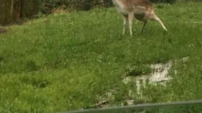 Opnieuw loslopend hertje gespot in de buurt van de Mol