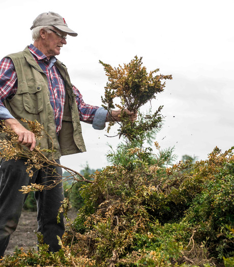 Buxusmot richt ravage aan in Zeeuwse tuinen