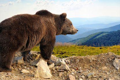 Drama in de Pyreneeën: beer jaagt meer dan 200 schapen van klif recht de dood in