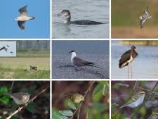 Steppeplevier, grijze wouw en steppearend: Walcherse vogelaars zagen bijzondere vogels