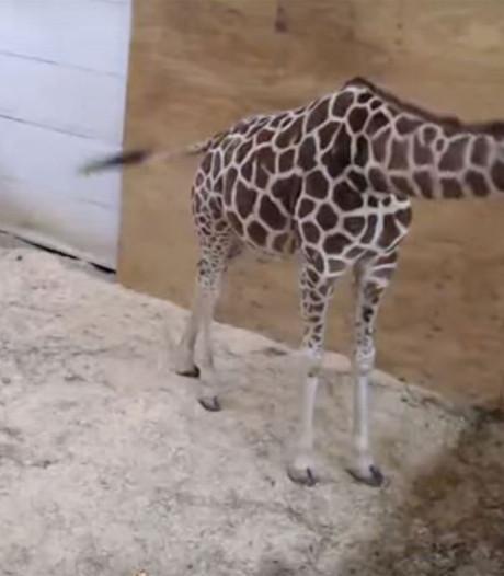 Miljoenen kijkers voor 'seksuele' bevallingswebcam giraf