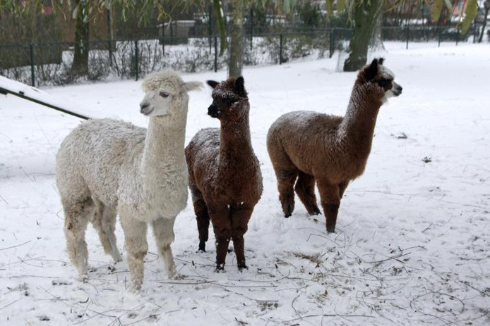 Alpaca's in een hertenkamp, hier in Druten.