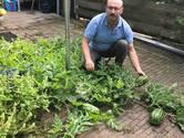 In de tuin van Nesim uit Ulft groeien watermeloenen