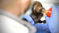 Vier babyvosjes gered nadat hun moeder vermoedelijk werd vergiftigd