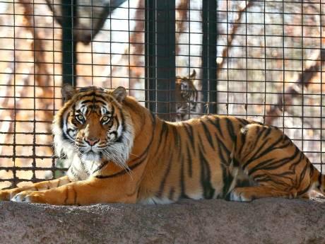Tijger valt verzorger aan in Amerikaanse dierentuin