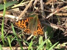 Kleine parelmoervlinder rukt voor het eerst op naar de Sprengenberg in Haarle: 'Spectaculair nieuws'