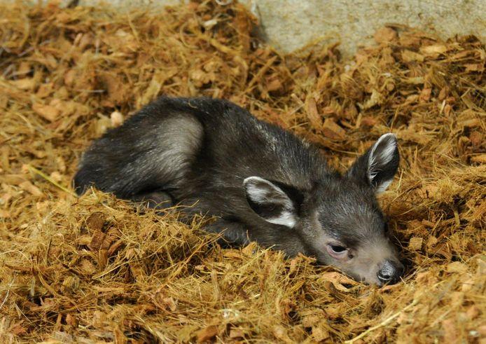 Het kleine kuifhertje, vlak na de geboorte.