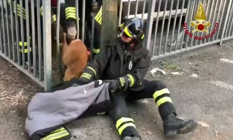 Het dier kwam op een bizarre manier vast te zitten in een hek in de stad Piacenza.