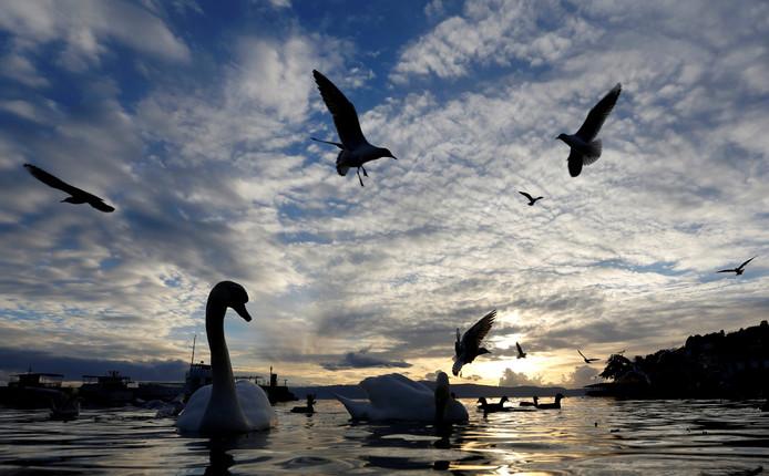 Zwanen en meeuwen voeden zich met traktaties achtergelaten door toeristen langs het Macedonische meer van Ohrid. Foto Ognen Teofilovski