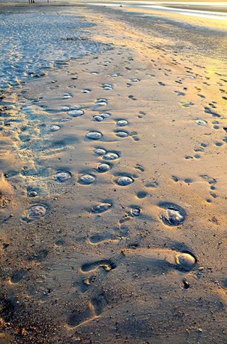 Op het strand van Knokke spoelden veel kwallen aan, van een ongevaarlijke soort, zo blijkt.