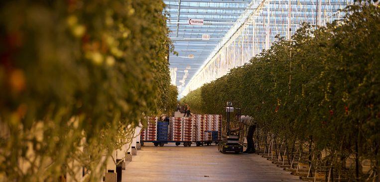 Tomatenplanten in kwekerij Lans. Beeld null