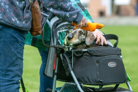 Teckel-dag in Wellen. Honderden teckels verzamelden met hun baasjes voor een modeshow, teckel-race en fotomomenten. Foto Tony van Galen