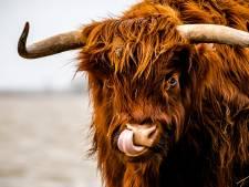 Tortelduifjes staan doodsangsten uit tussen Schotse hooglanders in Biddinghuizen: politie brengt redding