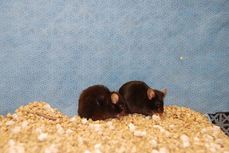 De onderzochte muizen, allebei even oud (2 jaar). Beeld Mayo Clinic