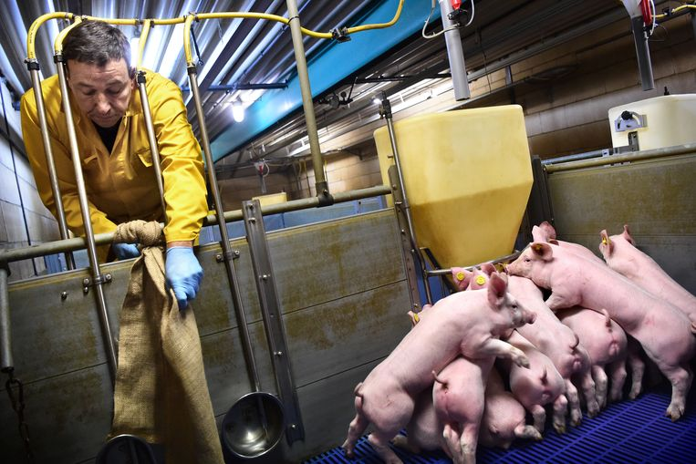 Varkenshouder Eric Stiphout uit Boxmeer hangt jute zakken op waar biggen mee kunnen spelen. Beeld null