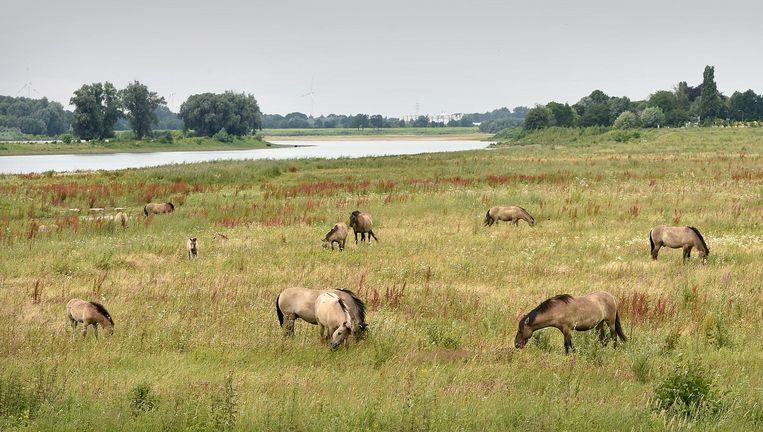 In project Grensmaas in Zuid-Limburg gaat de natuur zijn gang. Beeld Marcel van den Bergh / de Volkskrant