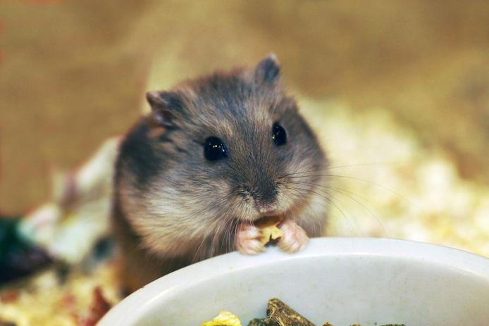 Hamster, photo d'illustration