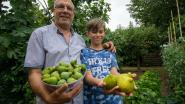 """Maasmechelaar (65) oogst massa Italiaanse vijgen: """"Dertig jaar geleden was dit ondenkbaar in België"""""""