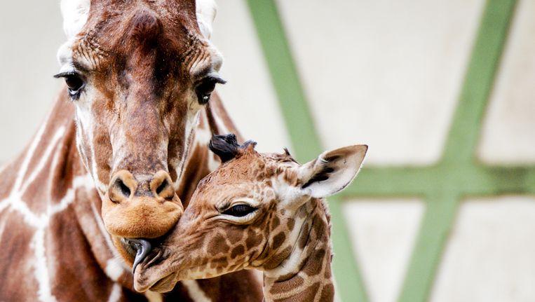 Een klein girafje gaat voor het het eerst naar buiten in dierentuin Artis in Amsterdam. Beeld ANP