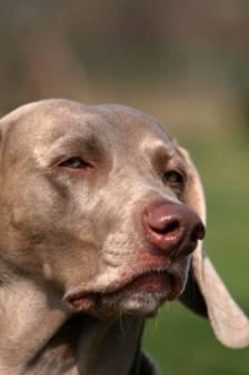 'Gevaarlijke honden' uit Voorst moeten buiten aan de lijn