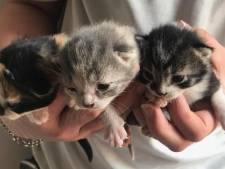 'Kitten-explosie' in dierenasiels