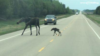 Schattig: pasgeboren elandkalfje steekt al waggelend weg over
