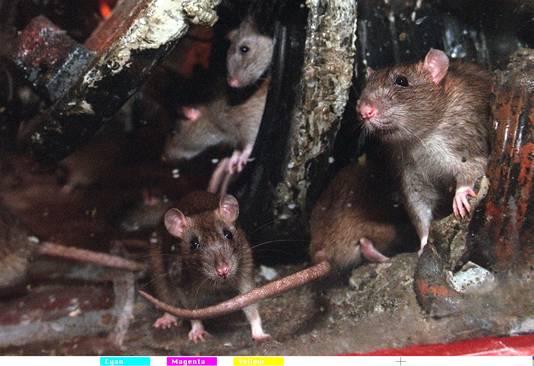 Ratten, stockphoto.