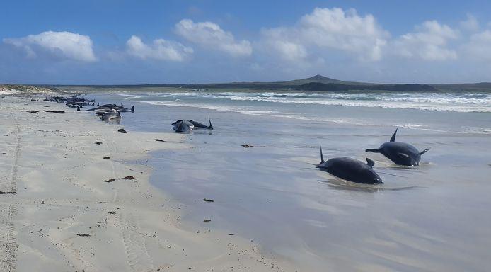 Enkele van de gestrande grienden op de Chatham Eilanden.