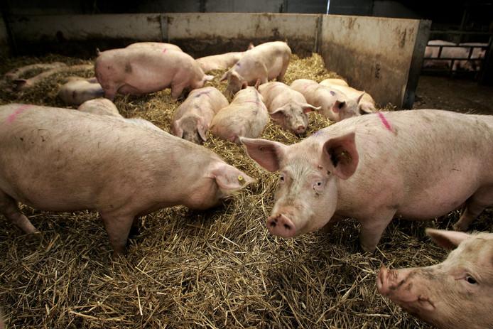 Stro geeft varkens veel meer afleiding dan een bal