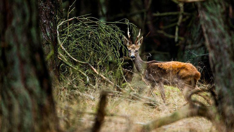 Een hert op de Veluwe. Beeld Freek van den Bergh