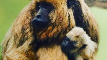 Opnieuw babygeluk in Pari Daiza: schattig klein brulaapje geboren