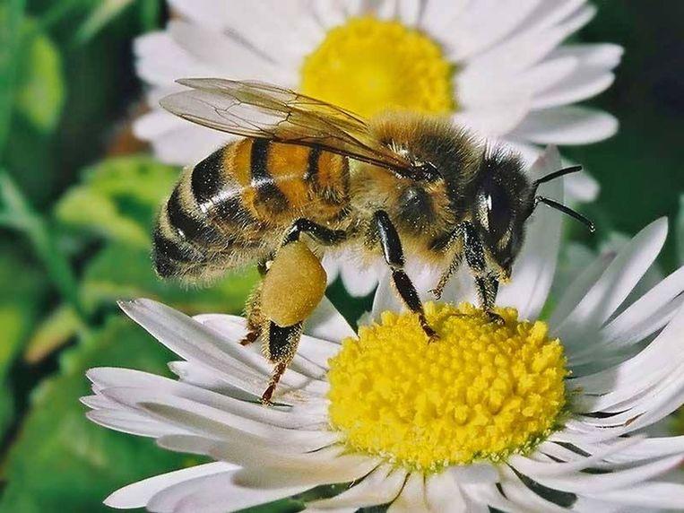 Bijen in actie (afbeelding Uit in Vlaanderen)