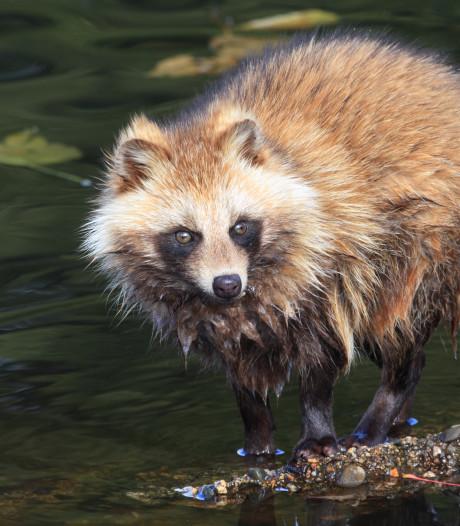 Zeldzame wasbeerhond gespot in Drenthe