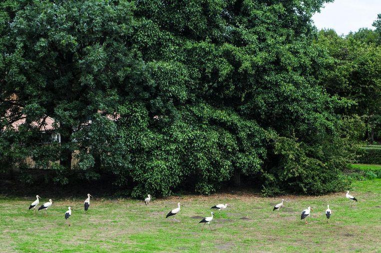 De 12 ooievaars op het veldje. Beeld Hendrik Jan Smit