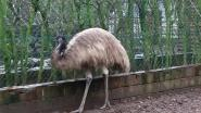 De eerste taak van de nieuwe burgemeester van Herk: een emoe vangen op nieuwjaarsdag